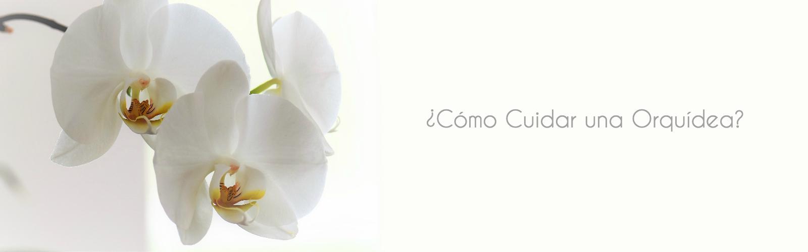 como-cuidar-una-orquidea-floristeria-cotton-candy